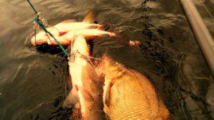 Кукан рыболовный в действии