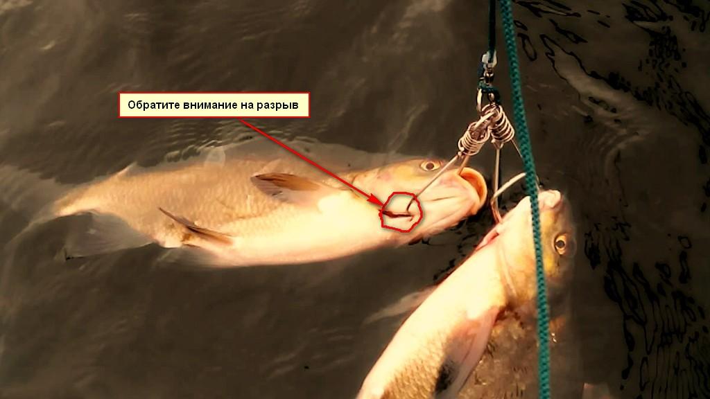 Рыба на кукане травмируется